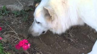 ソフィー、味わった後は残った大きな鹿の皮を大事にしまっておくことに…。