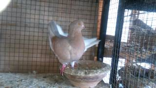 Different colors king pigeons 03459442750 Zain Ali Farming in Pakistan