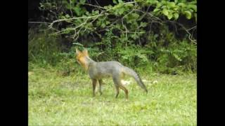 2 Grey Fox On Our Property