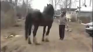 Цыганские лошади в рыбинмке
