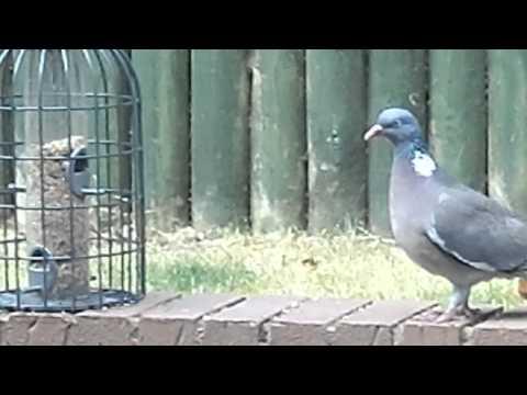 Pigeon Vs. Birdfeeder