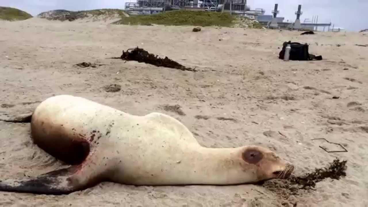 Dead California Sea Lion At Ormond Beach Ca