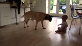 Baby play with bullmastiff