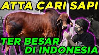 Atta Cari Sapi Ter Besar di Indonesia 😍