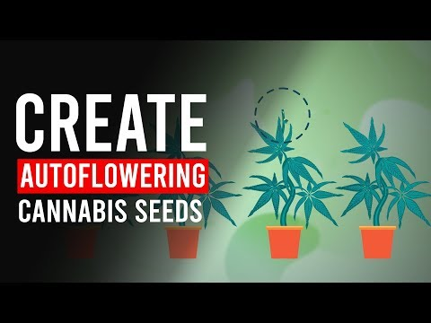 How Do You Create Auto-Flowering CANNABIS Seeds