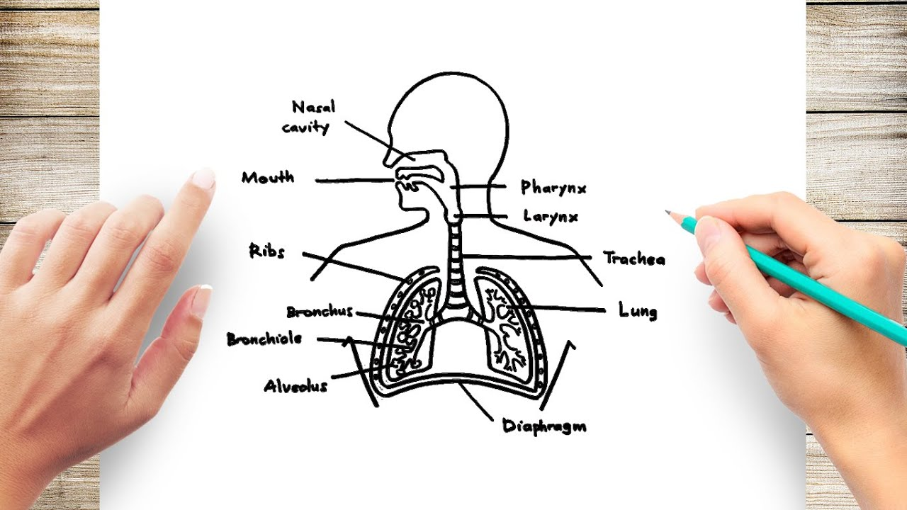 How To Draw Human Respiratory System Diagram Youtube