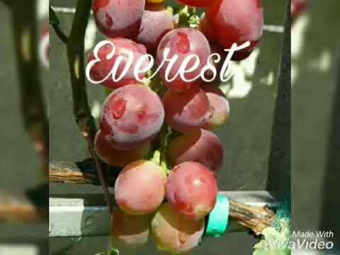 jual-bibit-anggur-impor-wa-085733660033-jenis-geovani,-ninel,-nizina-dll