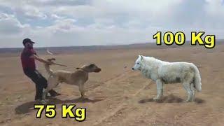 الذئب الكندي يتغلب على كلب الكنجال وغيره من الكلاب القوية