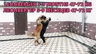 Leonberger puppy 5-9 months. Леонбергер щенок 5-9 месяцев