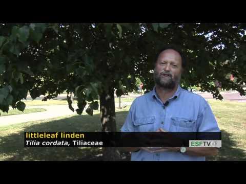 Trees With Don Leopold - Littleleaf Linden