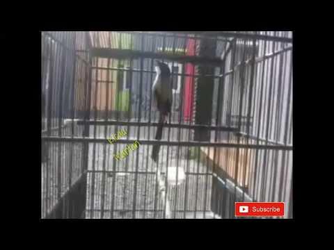 Burung cendet istimewa materi mewah