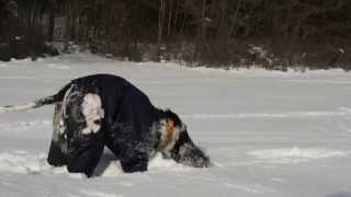 American Cocker Spaniel  And German Shepherd