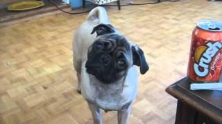 Super Cute Pug Dog