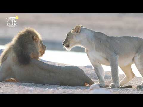 AFRICAN LION MATING | NAMIBIA - USING CANON 1DX MARK II AND 7D MARK II PERFECT FOR WILDLIFE