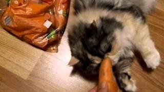 Беременная кошка тащится от морковки:)