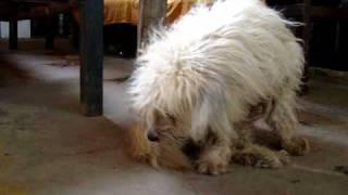 カンボジアにいた犬モップ.
