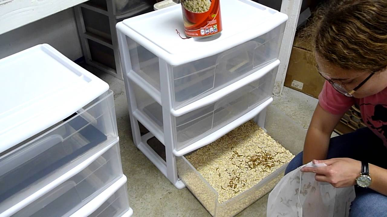 Setting Up A Mealworm Farm Youtube