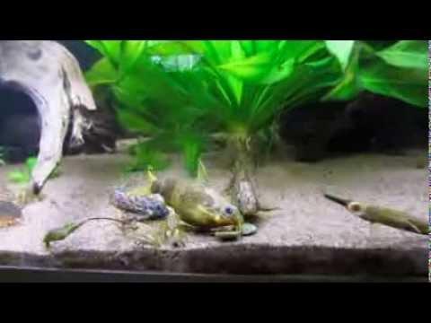 Upside-down Catfish Feasting