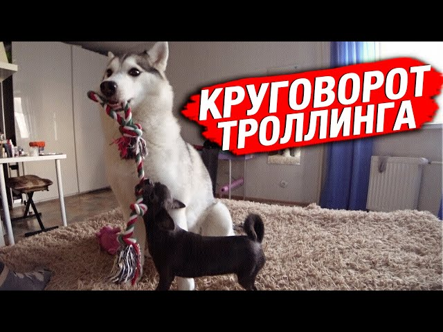 Круговорот троллинга с собаками