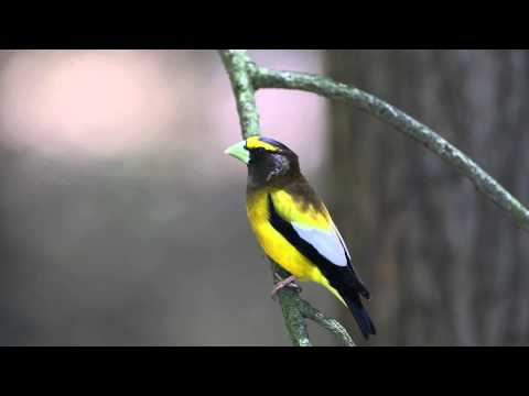 Evening Grosbeak male in HD