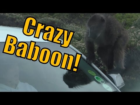 Crazy Baboon Jumps on top of a Car Scaring a Lady Screaming Loudly in South Africa