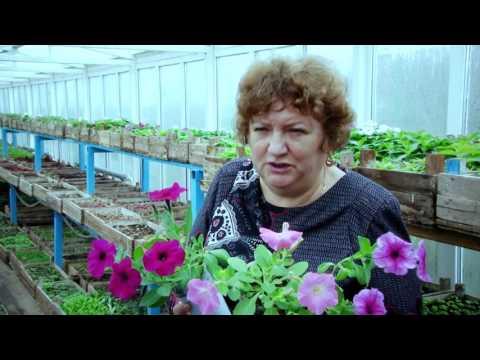Особенности выращивания рассады петунии
