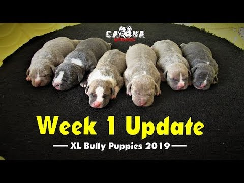 AMERICAN BULLY PUPPIES FOR SALE FROM THE WORLD FAMOUS KILLINOIS