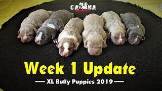 American Bully Puppies Update 2/16/19 | One Week Old Bully Puppies Showcase and What's Available