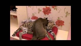 Сервал,котенок Каракала(Каракет)
