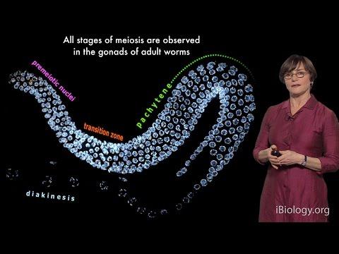 Abby Dernburg (UC Berkeley / LBNL / HHMI) Part 1: Meiosis: An Overview