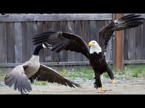 Birds of prey: Dutch police train eagles to take down drones; Eagle hunting goose – Compilation