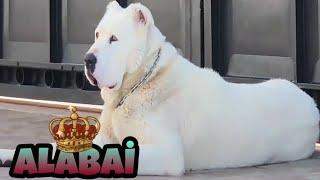 Alabay  Alabai  Aлабай Hakkında Bilgi