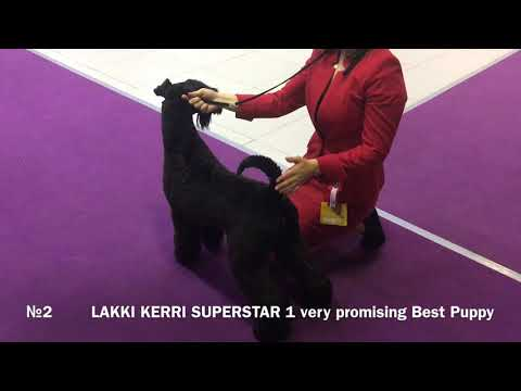 National championship Kerry blue terrier 2019, Moscow, Ron Ramsay, males
