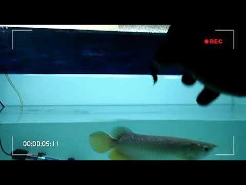 Beri makan ikan Arwana di Aquarium - YouTube