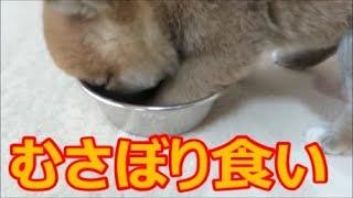 ご飯をむさぼり食いする柴犬まめ