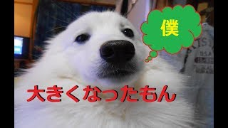 doglifeTV18話 日本スピッツ(サンゴ君)ポンデライオン・ライオン刈り...
