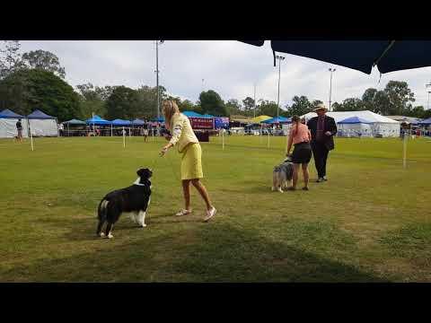 QLD Australian Shepherd Club - Open Show - BIS