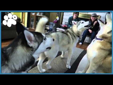 4 HUSKIES HOWLING TOGETHER!