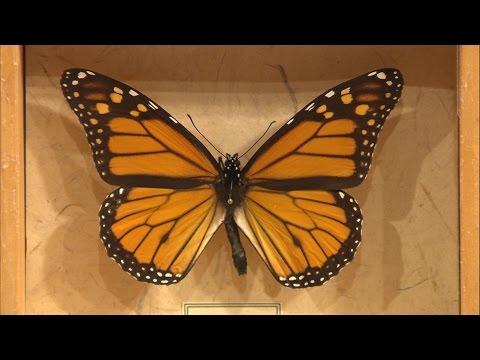 Monarch Butterflies – Family Plot