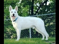 Polarbear White Shepherds Puppy Cam Live Stream