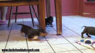 Mini Dachshund Puppies - Rhonda, Bree, Hodor And Daisy - Dachshund Dude Ranch