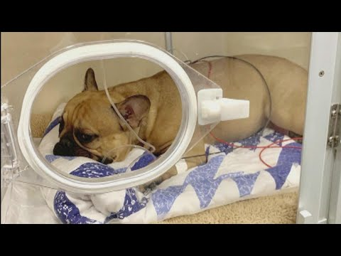 French Bulldog Miraculously Survives 6-Story Fall