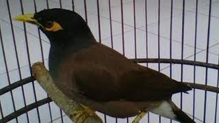 Gambar cover Cukup 3 menit!!! Burung Jalak Nias bakal buka paruh dan gacor