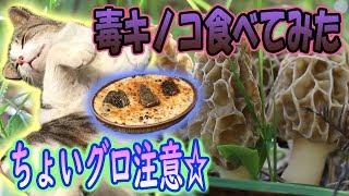 【春の毒キノコを食べてみたら美味かった】猫と戯れる小春日和「morille・モリーユキノコ狩り」【にやまん生活】
