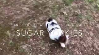 "AKC Chocolate Parti ""Yorkie"" Yorkshire Terrier"