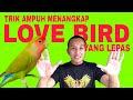 Cara Menangkap Burung Lovebird Lepas  Mp3 - Mp4 Download