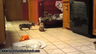 Mini Dachshund Puppies - Dachshund Dude Ranch - Ddr