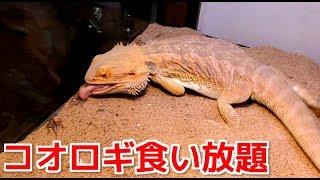 腹ペコのトカゲが大量のコオロギを食い尽くす!