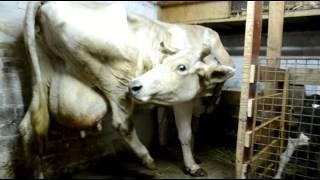 Проблемы после отела. Профилактика пареза. Problems after calving.