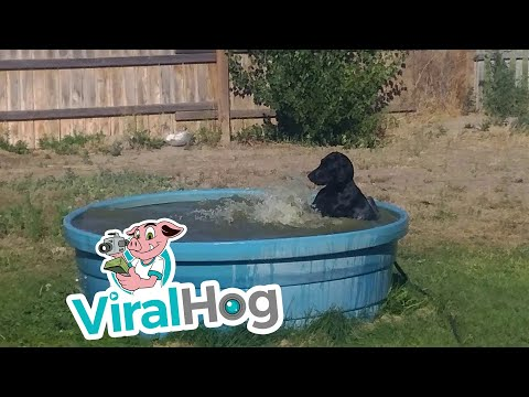 Black Lab in a Pool